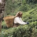 Плантационный чай Непал