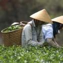 Плантационный чай Вьетнам